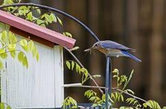 Un oiseau bleu vérifie ses oeufs dans un pondoir. photo stock