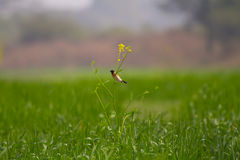 Un oiseau coloré sur l'usine de moutarde dans un domaine de blé Photo stock