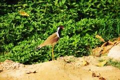 Un oiseau dans des fermes de village avec le résumé vert photo stock