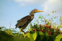 Un oiseau de bébé était perché sur le feuillage tropical dans un jardin sur Bequia Image libre de droits