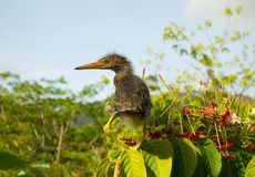 Un oiseau de bébé était perché sur le feuillage tropical dans un jardin sur Bequia Images stock