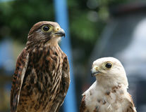 Un oiseau de couples Photos stock