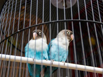 Un oiseau de deux amours Photo stock