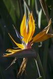 Un oiseau de fleur de paradis à Torrance, la Californie Photos stock