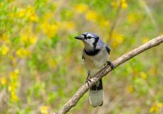 Un oiseau de geai bleu avec le backgound jaune de fleur Photos stock