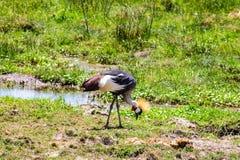 Un oiseau de grue repéré dans la région sauvage images stock