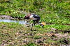 Un oiseau de grue repéré dans la région sauvage photographie stock