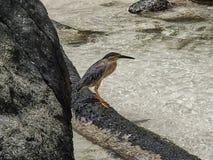 Un oiseau de héron de palétuvier se repose sur un tronc d'arbre à l'eau sur un Sey Images stock