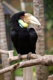 Un oiseau de hornbill Photos libres de droits