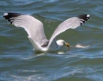 Un oiseau de mer attrape sa proie Photo libre de droits