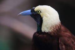 Un Oiseau-de-paradis plus grand photos stock