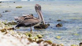 Un oiseau de repos, plage d'Arashi, Aruba Photos stock