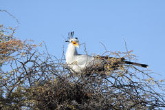 Un oiseau de secrétaire femelle Photos stock