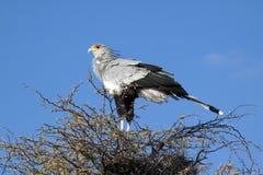 Un oiseau de secrétaire mâle Photographie stock libre de droits