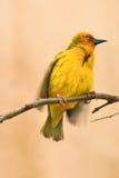 Un oiseau jaune de tisserand de cap, capensis de Ploceus Photo libre de droits