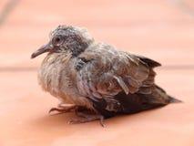 Un oiseau juvénile au sol Photos stock