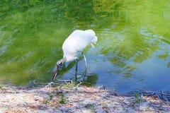 Un oiseau laid recherche la nourriture Images stock