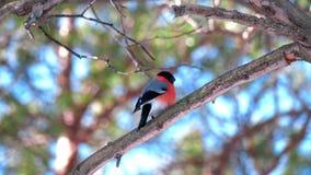 Un oiseau masculin de bouvreuil se repose sur une branche d'arbre et regarde autour banque de vidéos