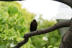 Un oiseau noir sur l'arbre attendant un ami Photo stock