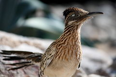 Un oiseau plus grand de Roadrunner photographie stock