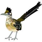 Un oiseau plus grand de roadrunner Image stock