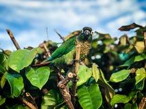 Un oiseau vert de perroquet Oiseau de grand perroquet vert de forêt tropicale tropicale avec les alimentations oranges de bec aut photographie stock libre de droits