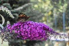 Un ojo Aglais io del ` s del pavo real se sienta en el umbel de un Syringa púrpura de la lila vulgaris y chupa el néctar de las p imágenes de archivo libres de regalías