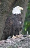 Un ojo de águila el vida Foto de archivo libre de regalías