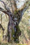 Un olivo divertido de la forma en la arboleda verde oliva overgrown en Corfú Grecia Foto de archivo