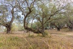 Un olivo divertido de la forma en la arboleda verde oliva overgrown en Corfú Grecia Fotografía de archivo libre de regalías