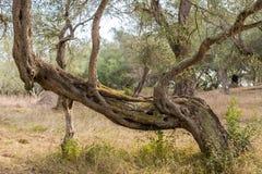 Un olivo divertido de la forma en la arboleda verde oliva overgrown en Corfú Grecia Imágenes de archivo libres de regalías