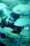 Un operatore subacqueo che alimenta i pesci tropicali in un cassone Fotografia Stock