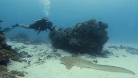 Un operatore subacqueo ottiene vicino ad uno squalo della zebra stock footage