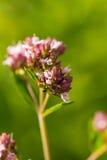 Un orégano hermoso florece en un jardín listo para el té Buena especia para la carne Jardín vibrante del verano Foto de archivo