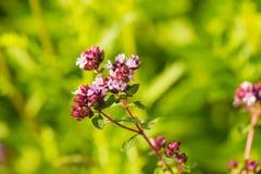 Un orégano hermoso florece en un jardín listo para el té Buena especia para la carne Jardín vibrante del verano Foto de archivo libre de regalías