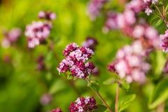 Un orégano hermoso florece en un jardín listo para el té Buena especia para la carne Jardín vibrante del verano Fotos de archivo