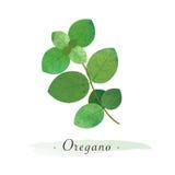 Un orégano vegetal sano de la acuarela del vector colorido de la textura Fotografía de archivo libre de regalías