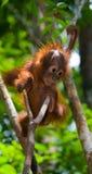 Un orang-outan de bébé dans le sauvage l'indonésie L'île de Kalimantan et de x28 ; Borneo& x29 ; photo libre de droits