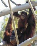 Un orang-outan de bébé sur les épaules de sa mère Photographie stock libre de droits