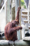 Un orang-outan effrayant Photo stock