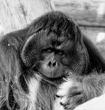Un orang-outan masculin en noir et blanc photo stock