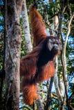 Un orang-outan masculin, tient la montre dans un arbre images stock