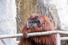 Un orango utan Immagine Stock