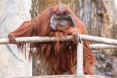 Un orango utan Fotografie Stock Libere da Diritti