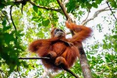 Un orangután de Sumatran que se sienta encima de un árbol Fotografía de archivo