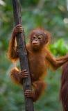 Un orangutan del bambino nel selvaggio l'indonesia L'isola del Kalimantan & di x28; Borneo& x29; Fotografie Stock Libere da Diritti