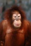 Un orangutan femminile Immagine Stock