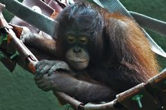 Un orangutan nel suo nido Fotografie Stock Libere da Diritti