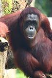 Un orangutan solo fotografia stock
