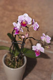 Un'orchidea bellezza & poco rosa Fotografia Stock Libera da Diritti